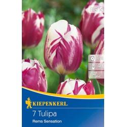 Tulipán Rems Sensation, 11/12, 40 cm, 7 ks