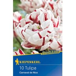 Tulipan Carneval de Nice, 50 cm, 10 ks