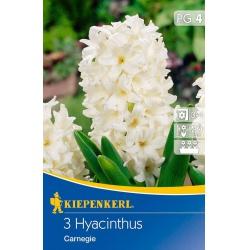 Hyacint Carnegie, 20 cm, 3 ks