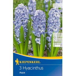 Hyacint Aqua, 20 cm, 3 ks