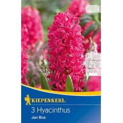 Hyacint Jan Bos, 20 cm, 3 ks