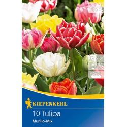 Tulipán zmes Murillo, 10/11, 25 cm, 10 ks