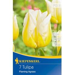Tulipan Framing Agrass, 40 cm, 7 ks