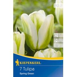 Tulipán Spring Green, 50 cm, 7 ks